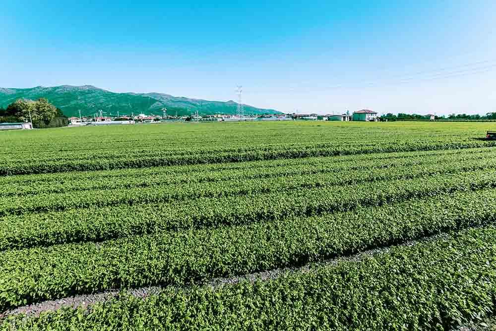 coltivazione di basilico genovese per trasformazione