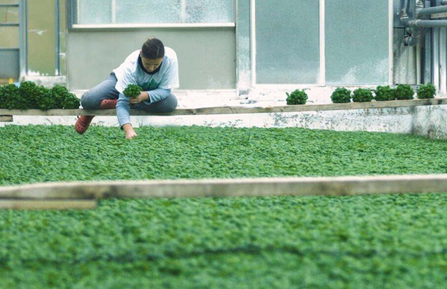 produzione basilico genovese in serra